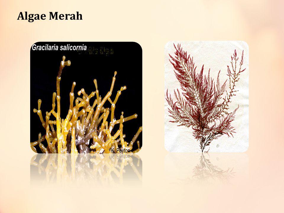 Algae Merah