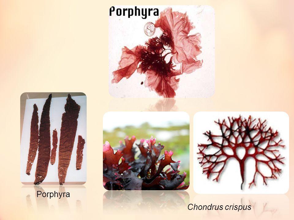 Porphyra Chondrus crispus