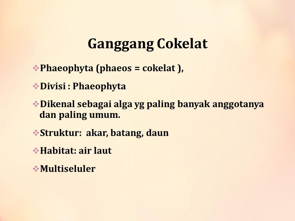 Ganggang Cokelat Phaeophyta (phaeos = cokelat ), Divisi : Phaeophyta