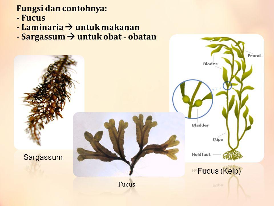 Fungsi dan contohnya: - Fucus - Laminaria  untuk makanan - Sargassum  untuk obat - obatan