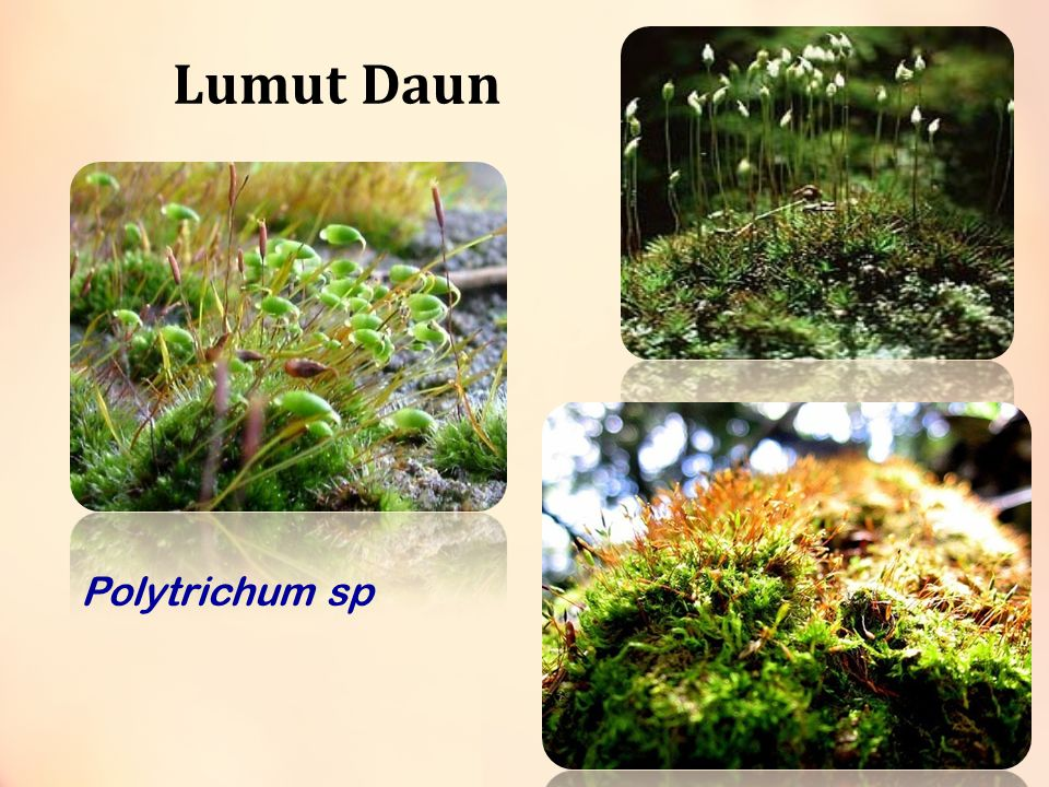 Lumut Daun Polytrichum sp