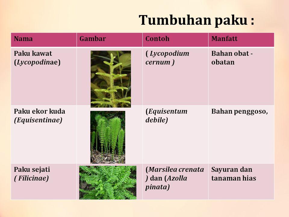Tumbuhan paku : Nama Gambar Contoh Manfatt Paku kawat (Lycopodinae)