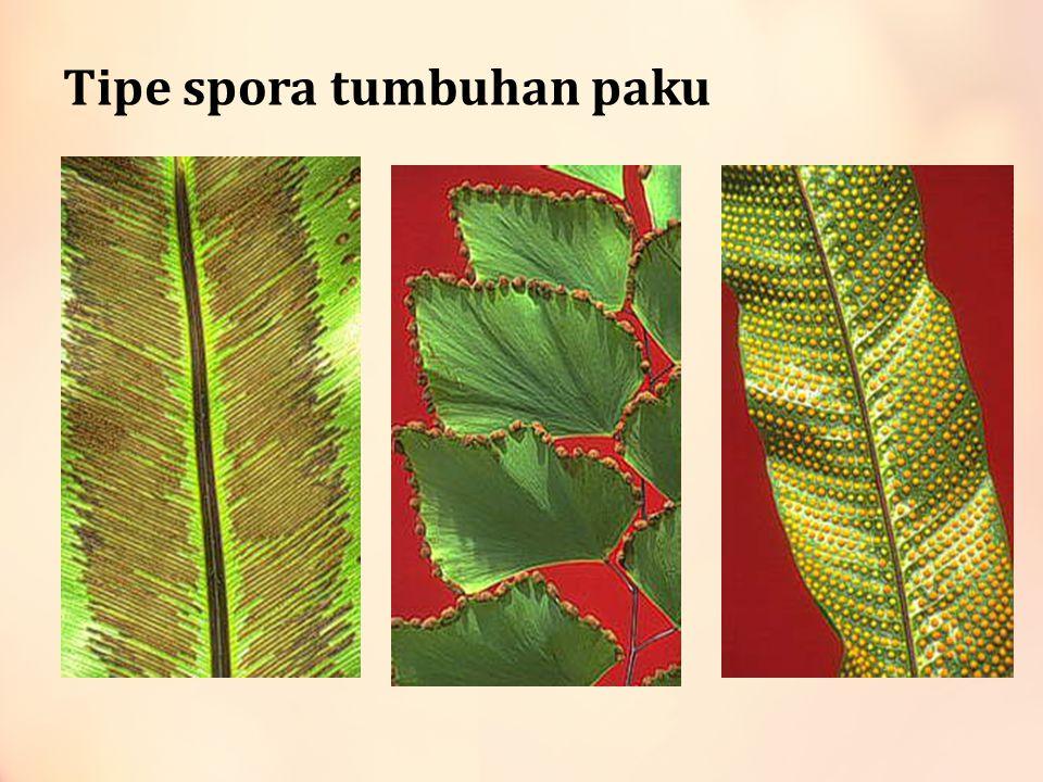 Tipe spora tumbuhan paku