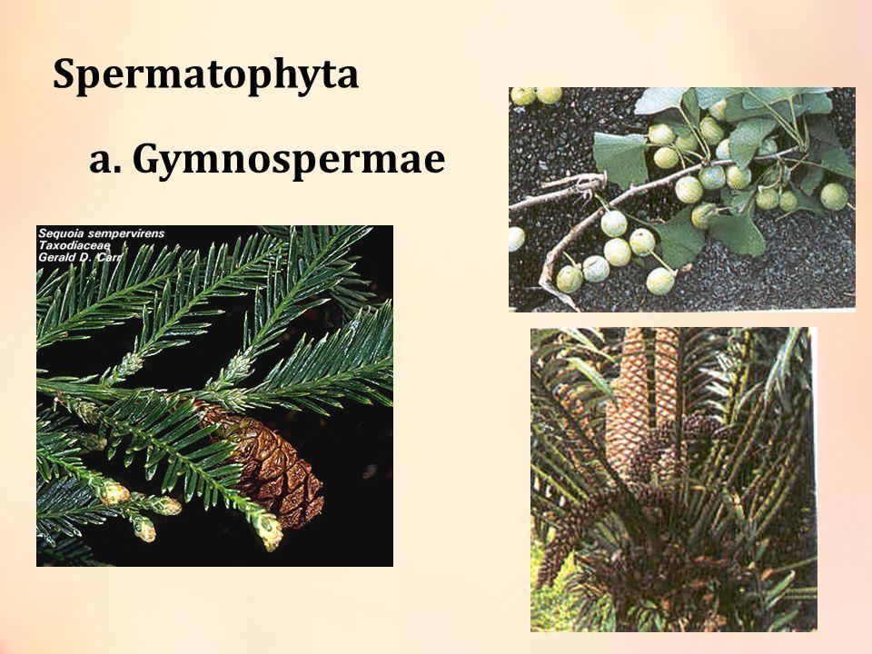 Spermatophyta a. Gymnospermae