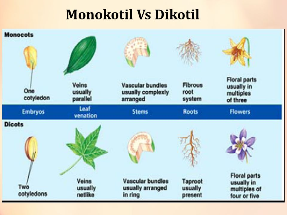 Monokotil Vs Dikotil