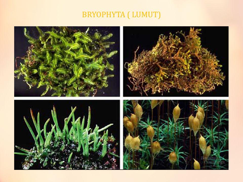 BRYOPHYTA ( LUMUT)