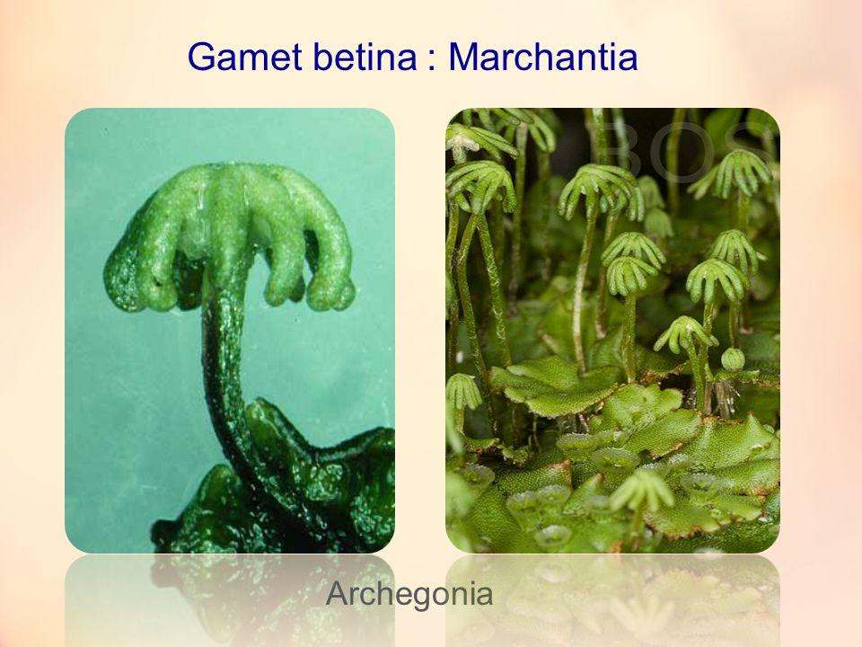 Gamet betina : Marchantia