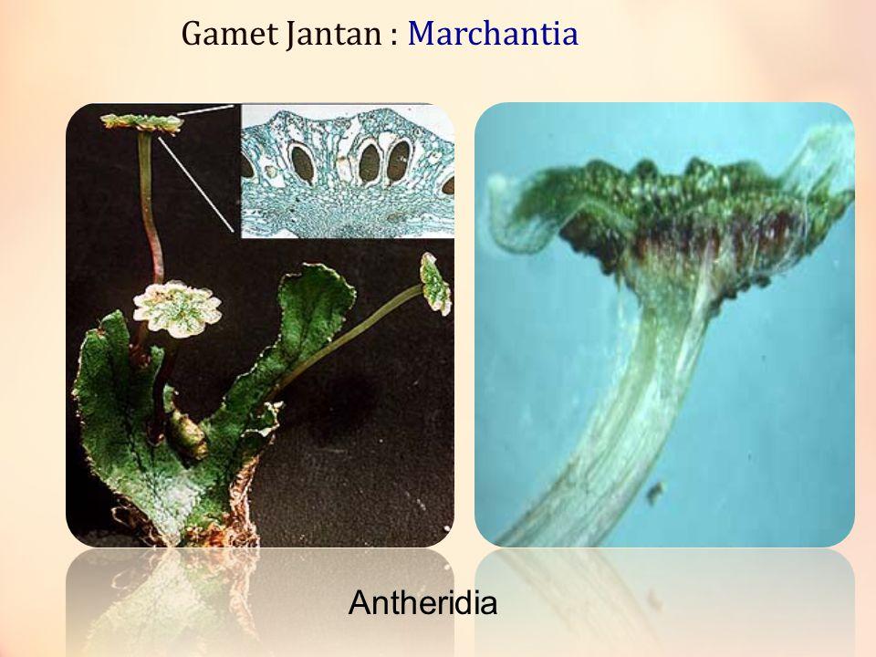 Gamet Jantan : Marchantia