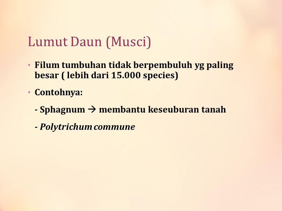 Lumut Daun (Musci) Filum tumbuhan tidak berpembuluh yg paling besar ( lebih dari 15.000 species) Contohnya: