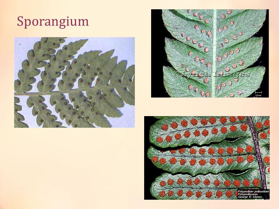 Sporangium