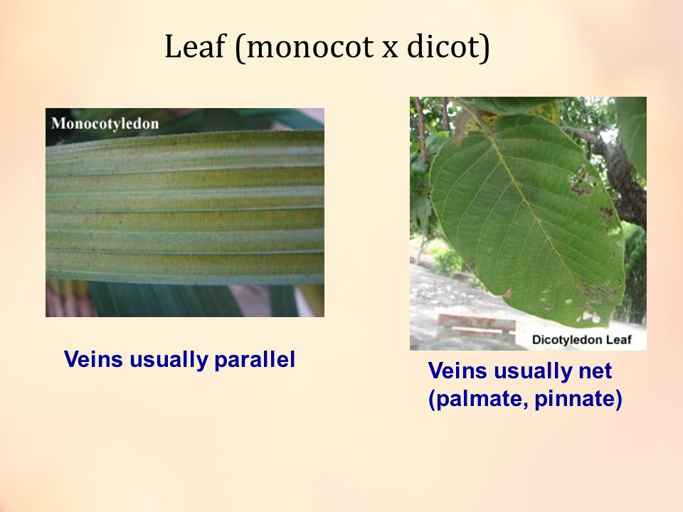Leaf (monocot x dicot) Veins usually parallel