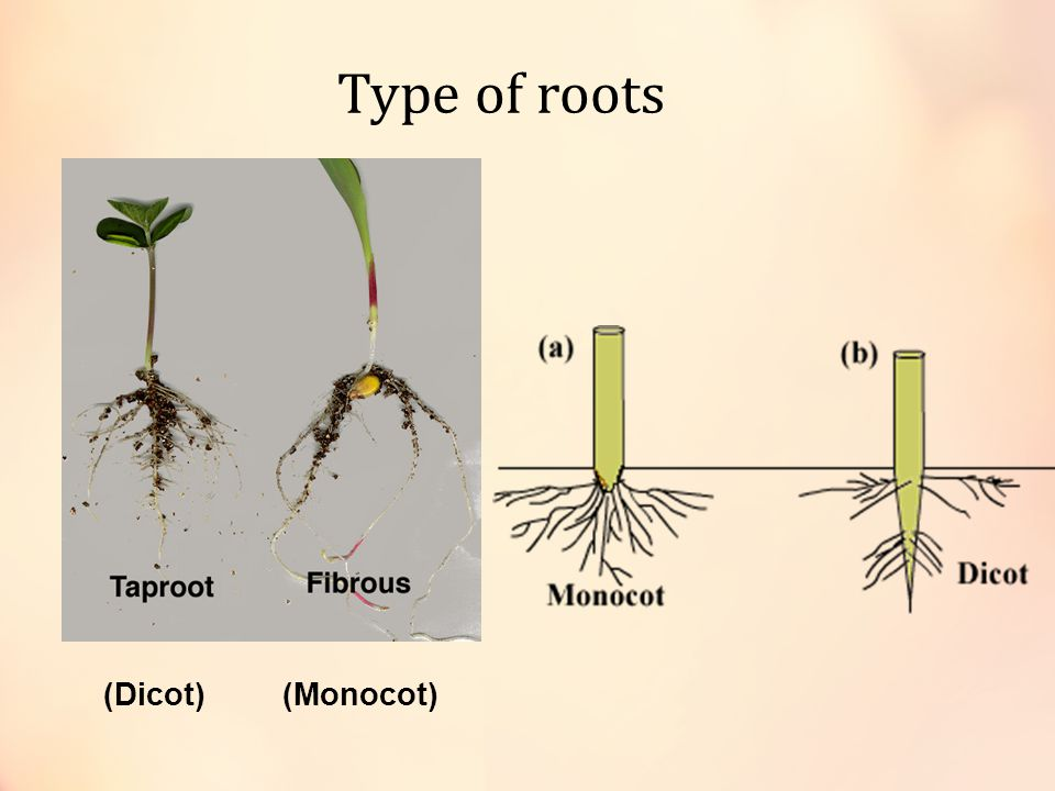 Type of roots (Dicot) (Monocot)