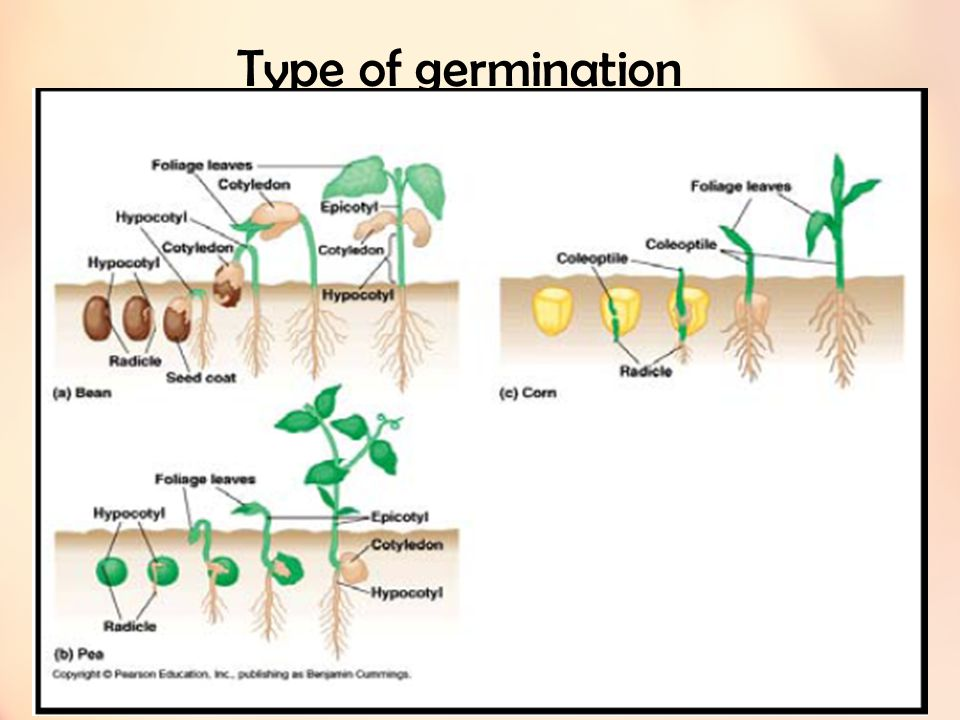 Type of germination