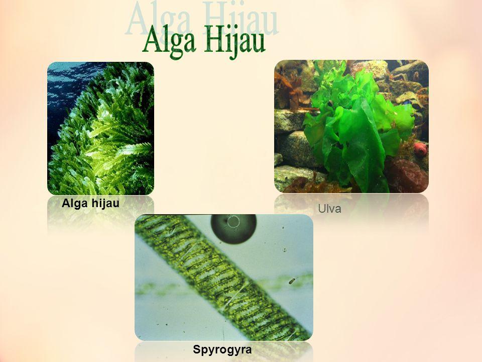 Alga Hijau Alga hijau Ulva Spyrogyra