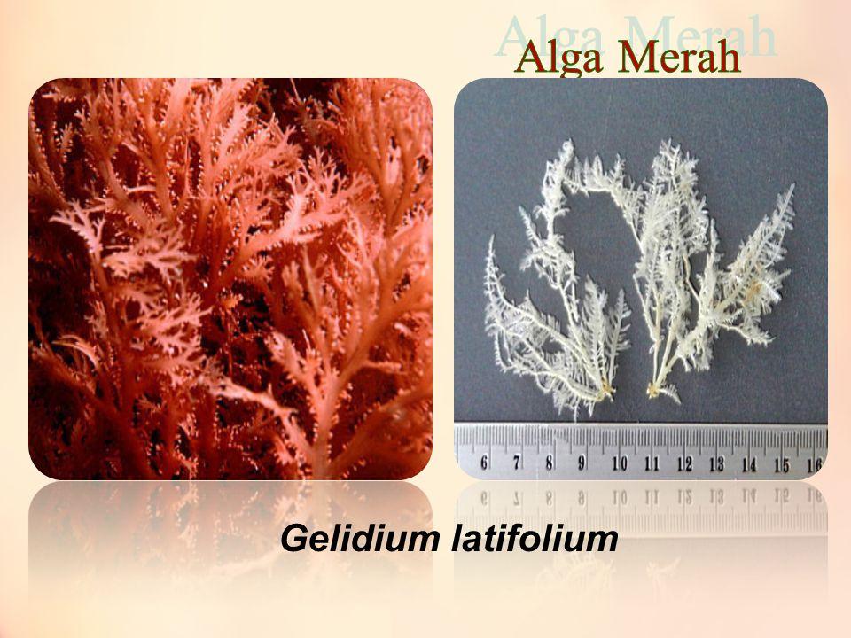 Alga Merah Gelidium latifolium