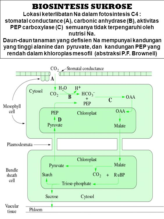 Lokasi keterlibatan Na dalam fotosintesis C4 :