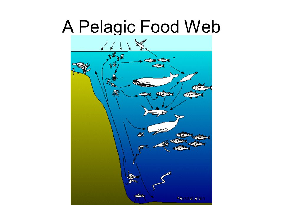 A Pelagic Food Web Everything begins with sunlight for the phytoplankton and other photosynthetic organisms.