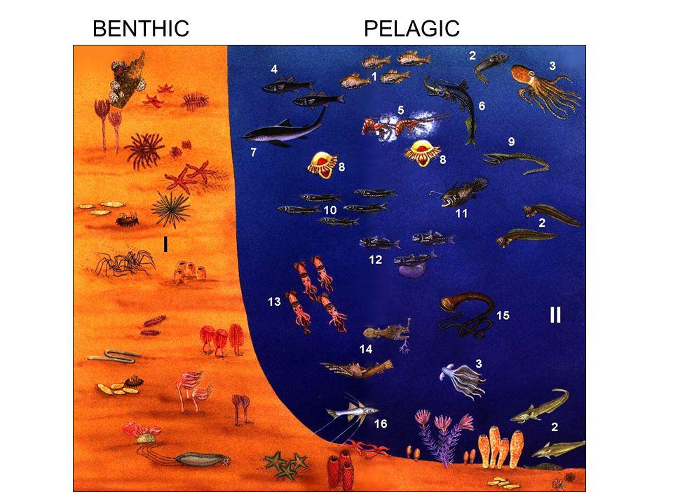 BENTHIC PELAGIC