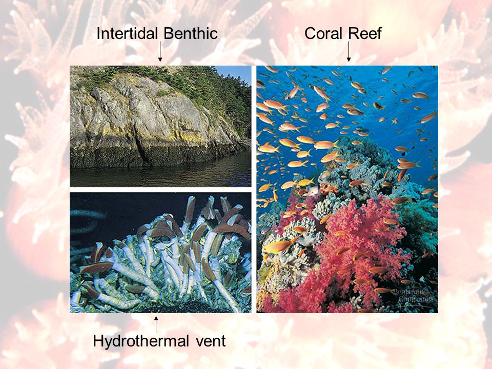 Intertidal Benthic Coral Reef