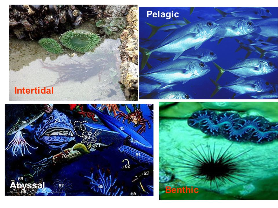 Pelagic Intertidal Abyssal Benthic