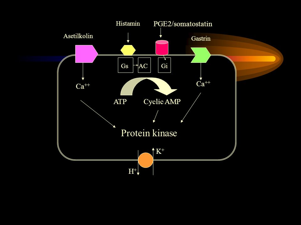 Protein kinase PGE2/somatostatin Ca++ Ca++ ATP Cyclic AMP K+ H+