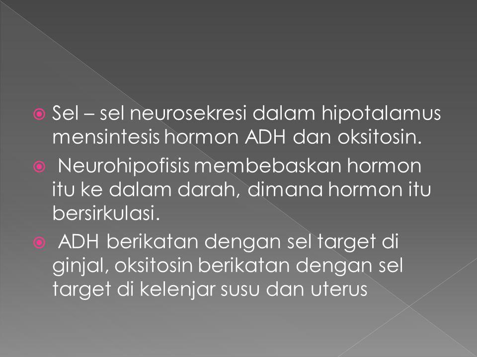 Sel – sel neurosekresi dalam hipotalamus mensintesis hormon ADH dan oksitosin.