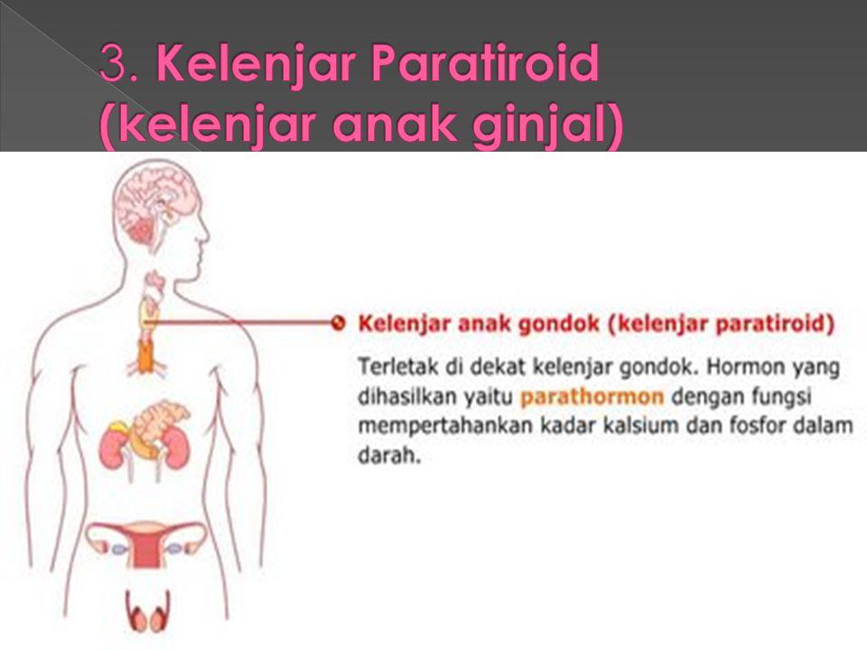 3. Kelenjar Paratiroid (kelenjar anak ginjal)