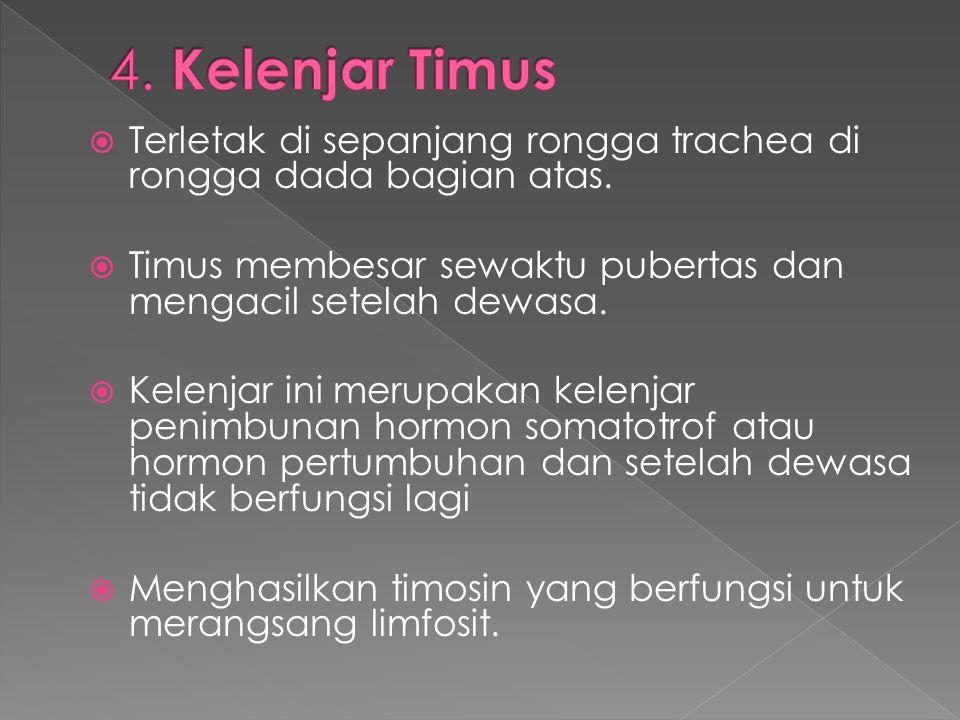 4. Kelenjar Timus Terletak di sepanjang rongga trachea di rongga dada bagian atas. Timus membesar sewaktu pubertas dan mengacil setelah dewasa.