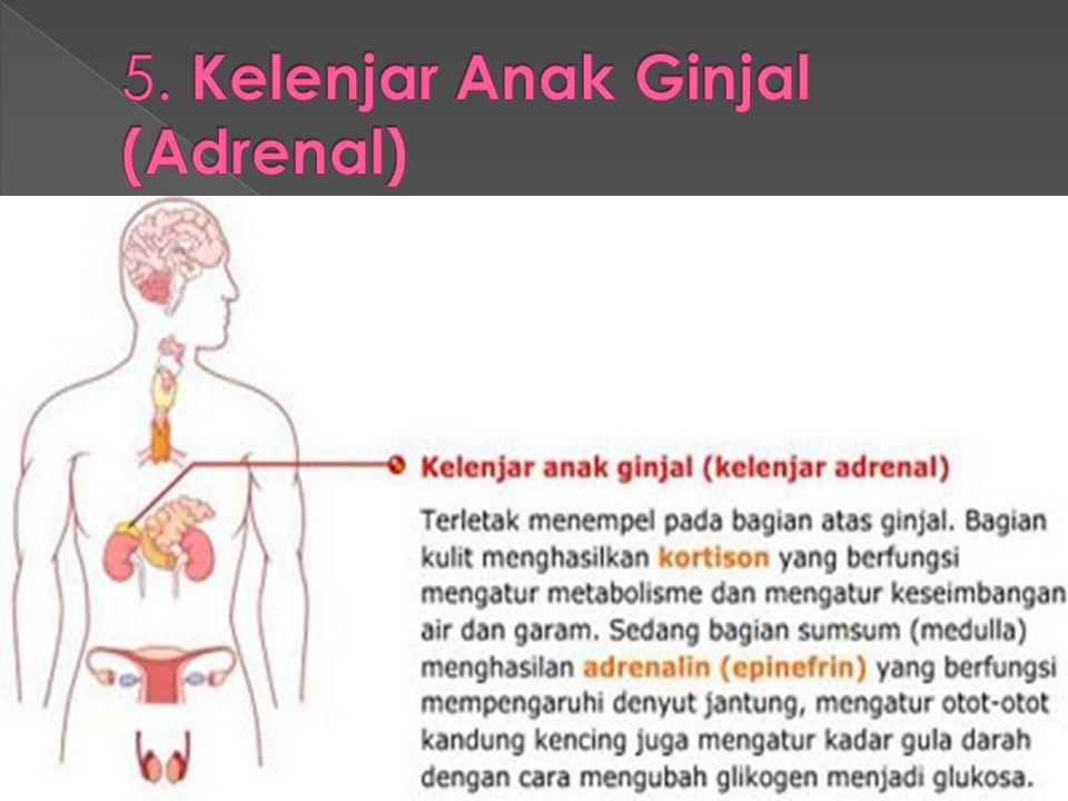 5. Kelenjar Anak Ginjal (Adrenal)