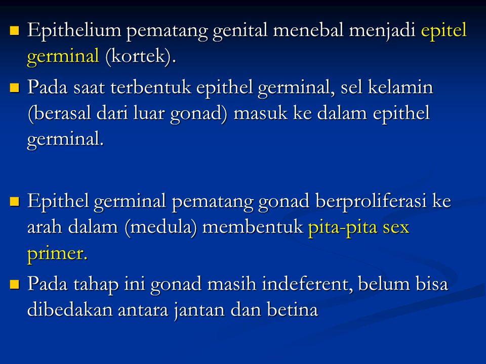 Epithelium pematang genital menebal menjadi epitel germinal (kortek).