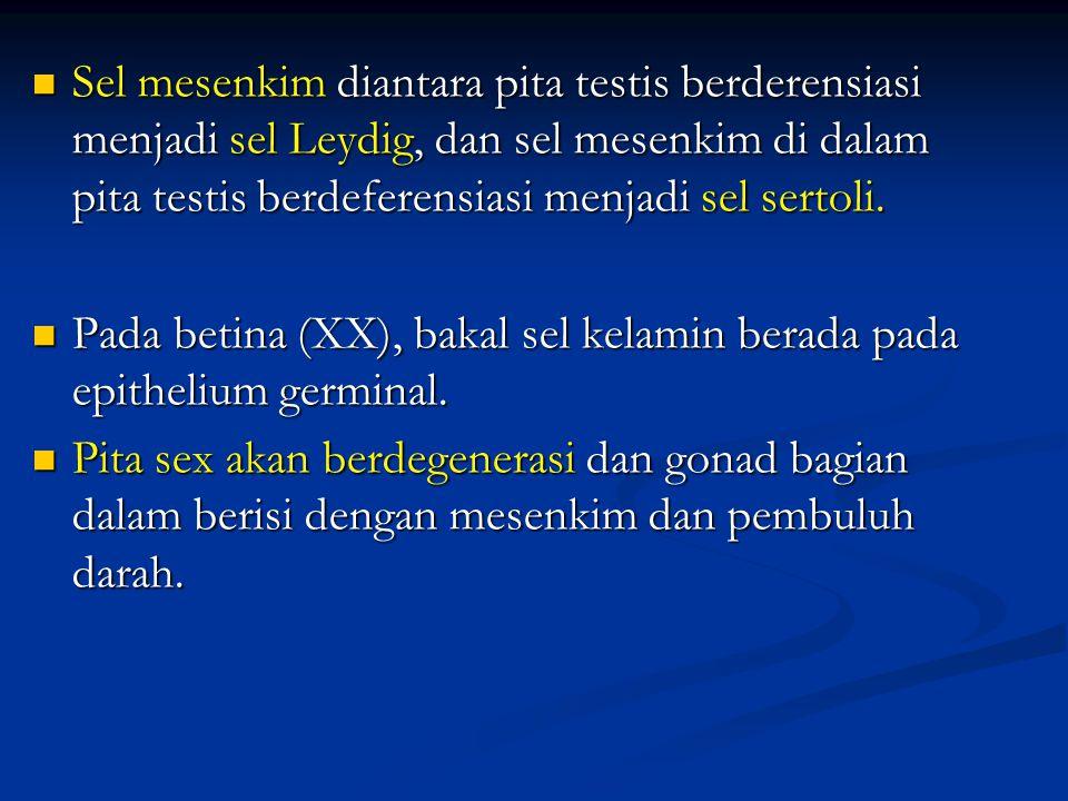 Sel mesenkim diantara pita testis berderensiasi menjadi sel Leydig, dan sel mesenkim di dalam pita testis berdeferensiasi menjadi sel sertoli.
