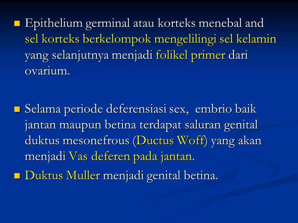 Epithelium germinal atau korteks menebal and sel korteks berkelompok mengelilingi sel kelamin yang selanjutnya menjadi folikel primer dari ovarium.