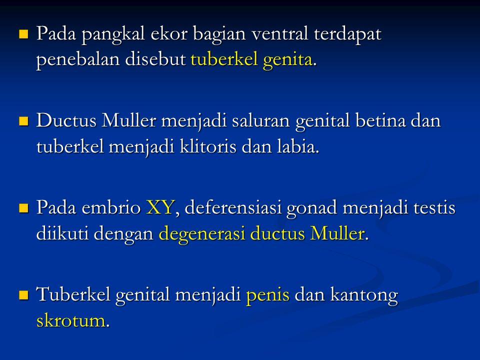 Pada pangkal ekor bagian ventral terdapat penebalan disebut tuberkel genita.