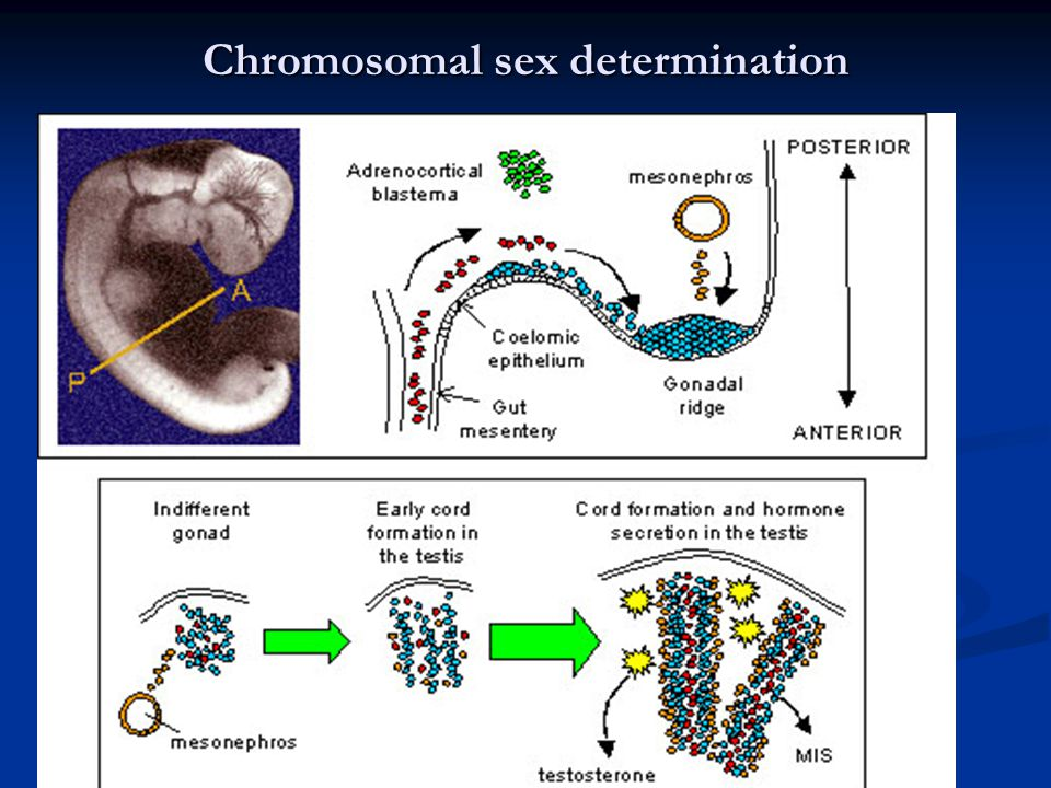Chromosomal sex determination