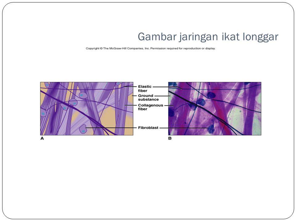 Gambar jaringan ikat longgar