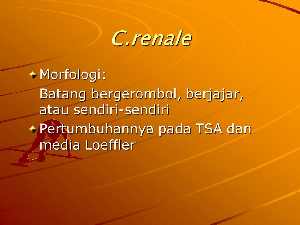 C.renale Morfologi: Batang bergerombol, berjajar, atau sendiri-sendiri