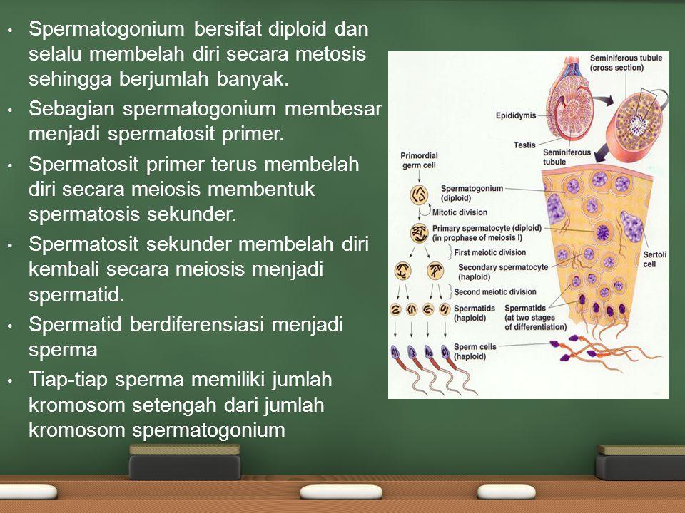 Spermatogonium bersifat diploid dan selalu membelah diri secara metosis sehingga berjumlah banyak.