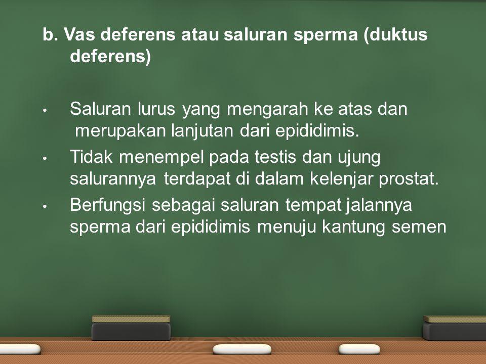 b. Vas deferens atau saluran sperma (duktus deferens)