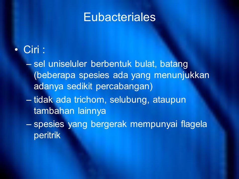 Eubacteriales Ciri : sel uniseluler berbentuk bulat, batang (beberapa spesies ada yang menunjukkan adanya sedikit percabangan)