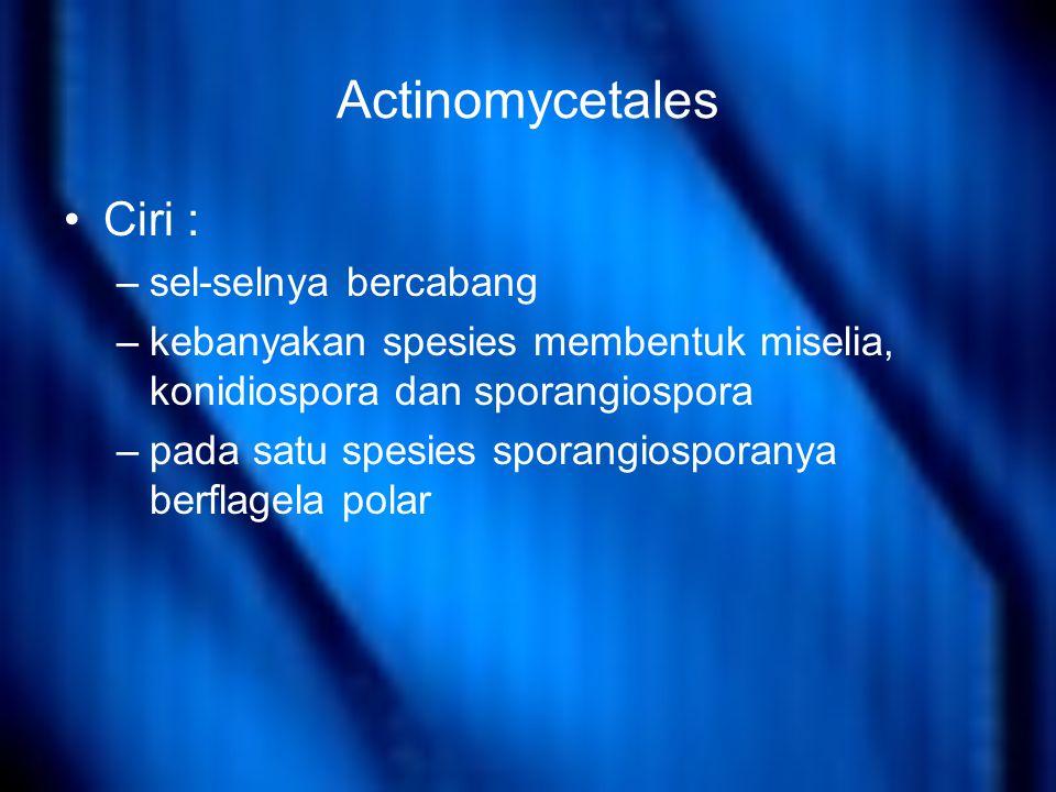 Actinomycetales Ciri : sel-selnya bercabang