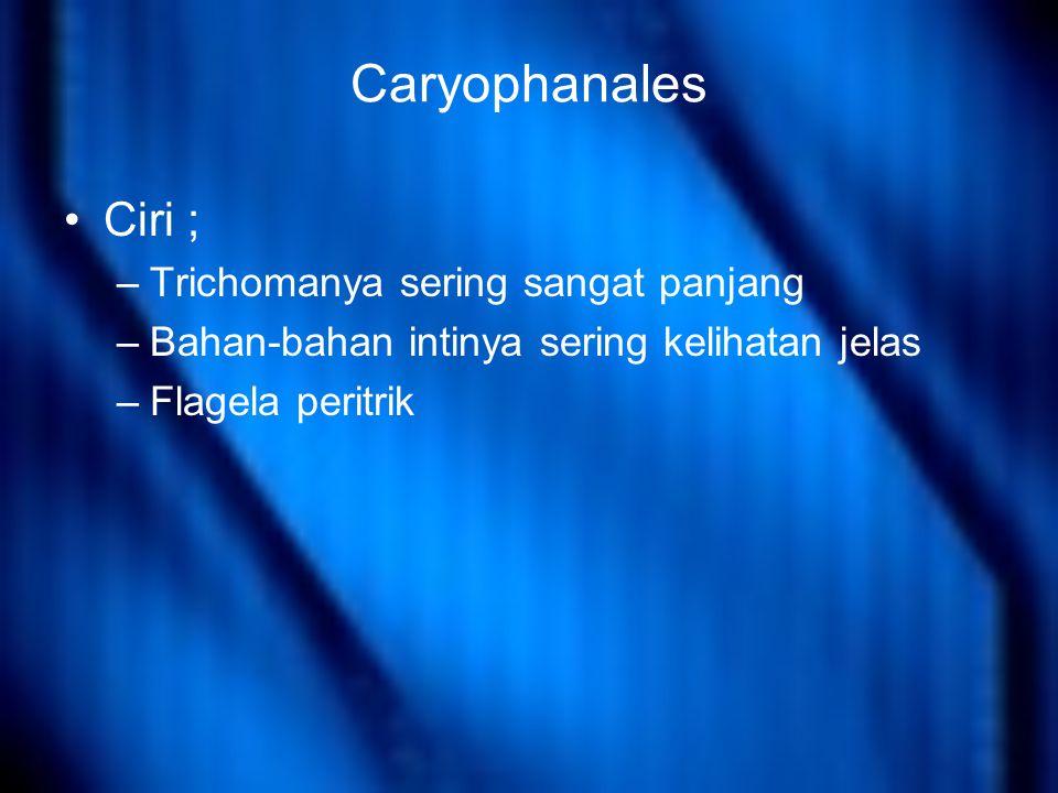 Caryophanales Ciri ; Trichomanya sering sangat panjang
