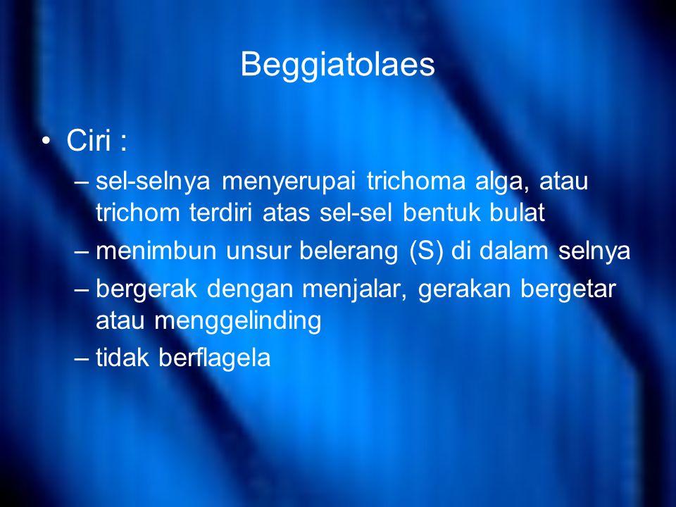 Beggiatolaes Ciri : sel-selnya menyerupai trichoma alga, atau trichom terdiri atas sel-sel bentuk bulat.
