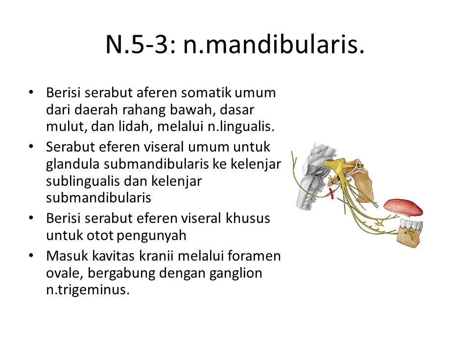 N.5-3: n.mandibularis. Berisi serabut aferen somatik umum dari daerah rahang bawah, dasar mulut, dan lidah, melalui n.lingualis.