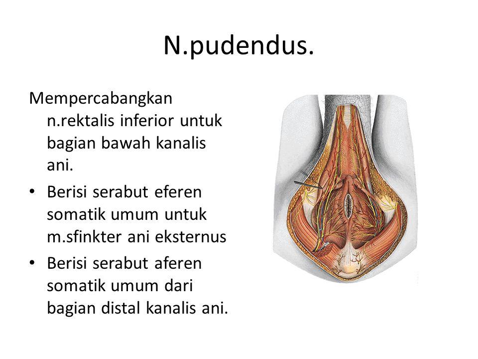N.pudendus. Mempercabangkan n.rektalis inferior untuk bagian bawah kanalis ani. Berisi serabut eferen somatik umum untuk m.sfinkter ani eksternus.
