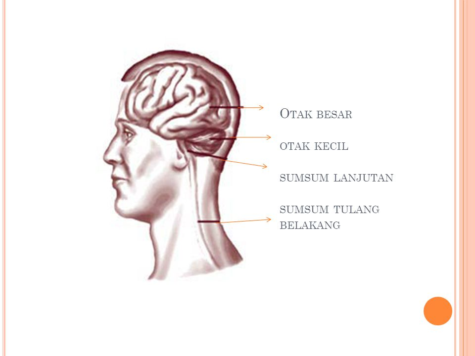 Otak besar otak kecil sumsum lanjutan sumsum tulang belakang