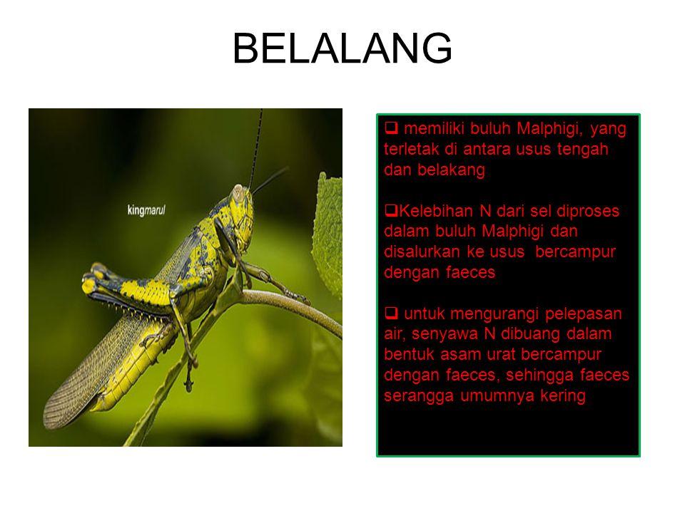 BELALANG memiliki buluh Malphigi, yang terletak di antara usus tengah dan belakang.