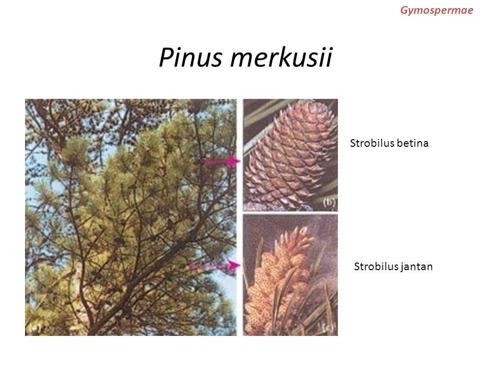Pinus merkusii Gymospermae Strobilus betina Strobilus jantan