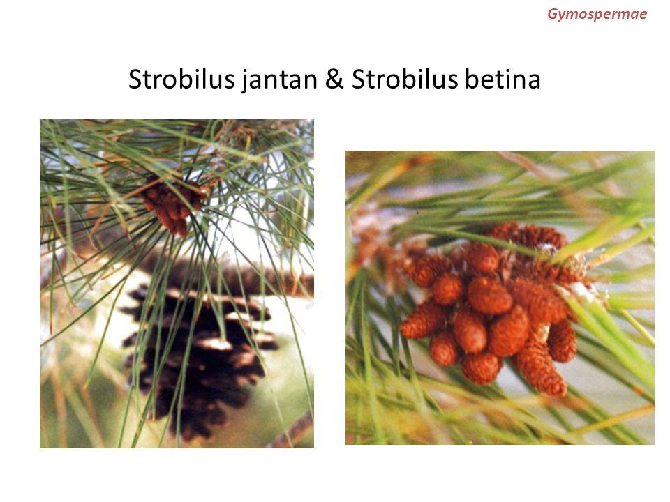 Strobilus jantan & Strobilus betina