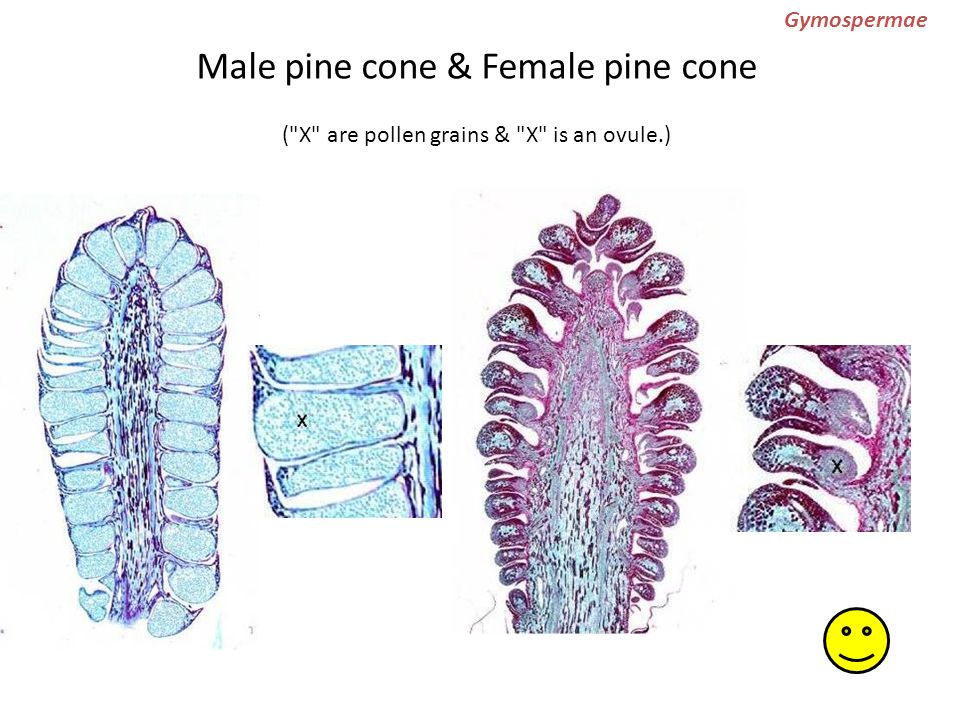 Gymospermae Male pine cone & Female pine cone ( X are pollen grains & X is an ovule.)
