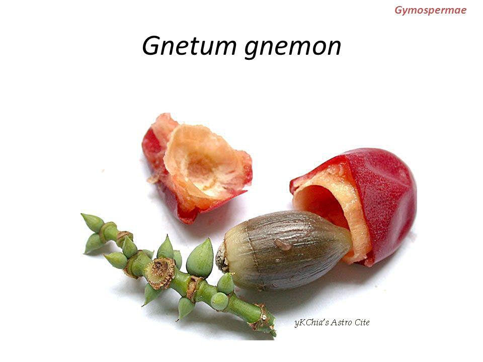 Gnetum gnemon Gymospermae manfaat: buah & daun: untuk sayur